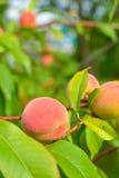 The peach, Prunus persica, Stock Images