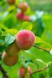 The peach, Prunus persica, Royalty Free Stock Photos