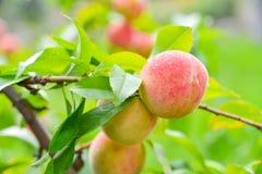 The peach, Prunus persica, Stock Image