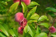 The peach, Prunus persica, Stock Photos