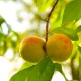 The peach, Prunus persica, Royalty Free Stock Image