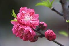 Peach in rain. Peach blossom close-up in rain royalty free stock photos