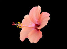 Peach red hibiscus Royalty Free Stock Photo