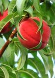 peach ripe 库存图片