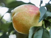Peach. Ripe peach on a branch Royalty Free Stock Image
