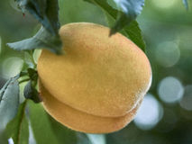 Peach. Ripe peach on a branch Stock Images