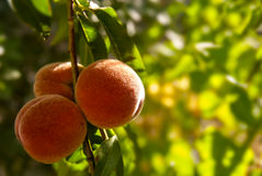 Peach. Ripe fruit of a peach on a branch Royalty Free Stock Photos