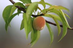Peach ripening on the branch of a peach tree Royalty Free Stock Images