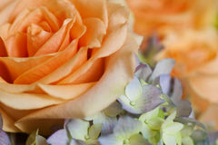 Free Peach Rose Stock Photography - 10011932
