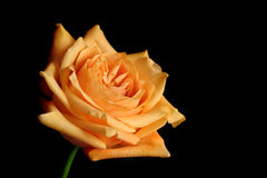 Peach rose Stock Image