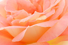Peach Rose Stock Photography