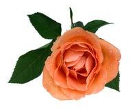 Peach rose Stock Photo