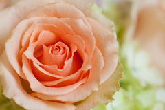 Free Peach Rose Royalty Free Stock Photography - 9382227
