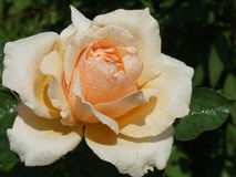 Peach Rose. With Morning Dew Royalty Free Stock Photography