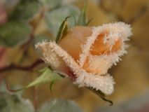 Peach rose caught in the cold. royalty free stock image