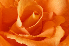 Peach Rose Royalty Free Stock Photography
