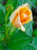 Peach rose and closed bud Stock Photography