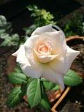 Peach rose closeup Stock Photos