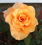 Peach rose Royalty Free Stock Photos