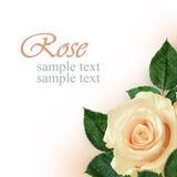Peach rose flower Stock Photography