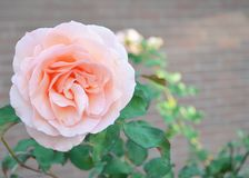 Peach Rose in full bloom. So beautiful Stock Photography