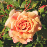 Peach rose Royalty Free Stock Image