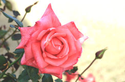 Peach rose Stock Photography