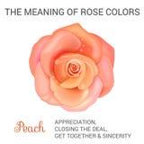 Peach rose. Infographics, vector illustration on white background stock illustration