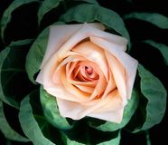 Peach rose in leaves stock photo