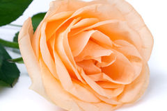 Peach rose with leaves isolated on white background Royalty Free Stock Image