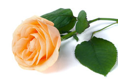 Peach rose with leaves isolated on white background Stock Photography