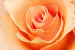 Peach Rose Love. Tender close up of a soft peach rose royalty free stock images