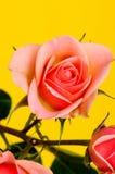 Peach Rose Macro Stock Photography