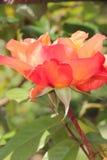 Peach rose Stock Photos