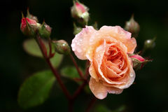 Peach Rose After the Rain Stock Image