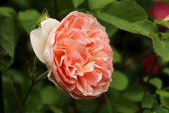 Peach Rose, side view and close up. Peach rose, hybrid is called Evelyn, shot from the side or three-quarter view and petals are fully visible in detail.  Rose Royalty Free Stock Images
