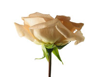 Peach rose on white Royalty Free Stock Photo