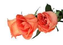 Peach roses Royalty Free Stock Photography