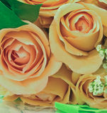 Peach roses. Close-up of peach roses in bloom Stock Photo