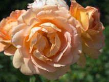 Peach Roses in bloom Royalty Free Stock Photo