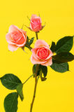 Peach Roses Floral arrangement Royalty Free Stock Image