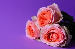Peach roses on paper violet background royalty free stock photography