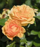 Peach Roses stock image