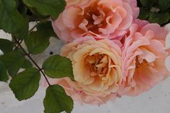 Peach Roses. A trio of peach roses stock photography