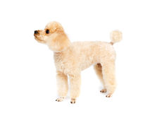 Peach small poodle is standing sideways Stock Photos