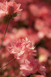 Peach Spring Azalea Bloom Background Royalty Free Stock Images