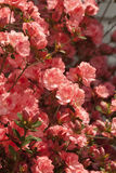 Peach Spring Azalea Blossoms Royalty Free Stock Photography