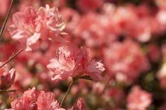 Peach Spring Azalea Flower Background Stock Photo