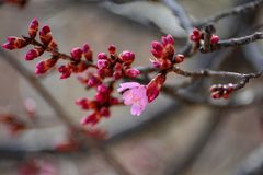Peach spring blossom. Flowers stock photo