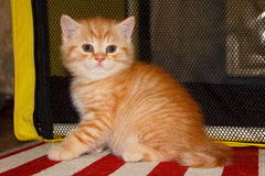 Peach striped tabby kitten red tabby. Royalty Free Stock Images